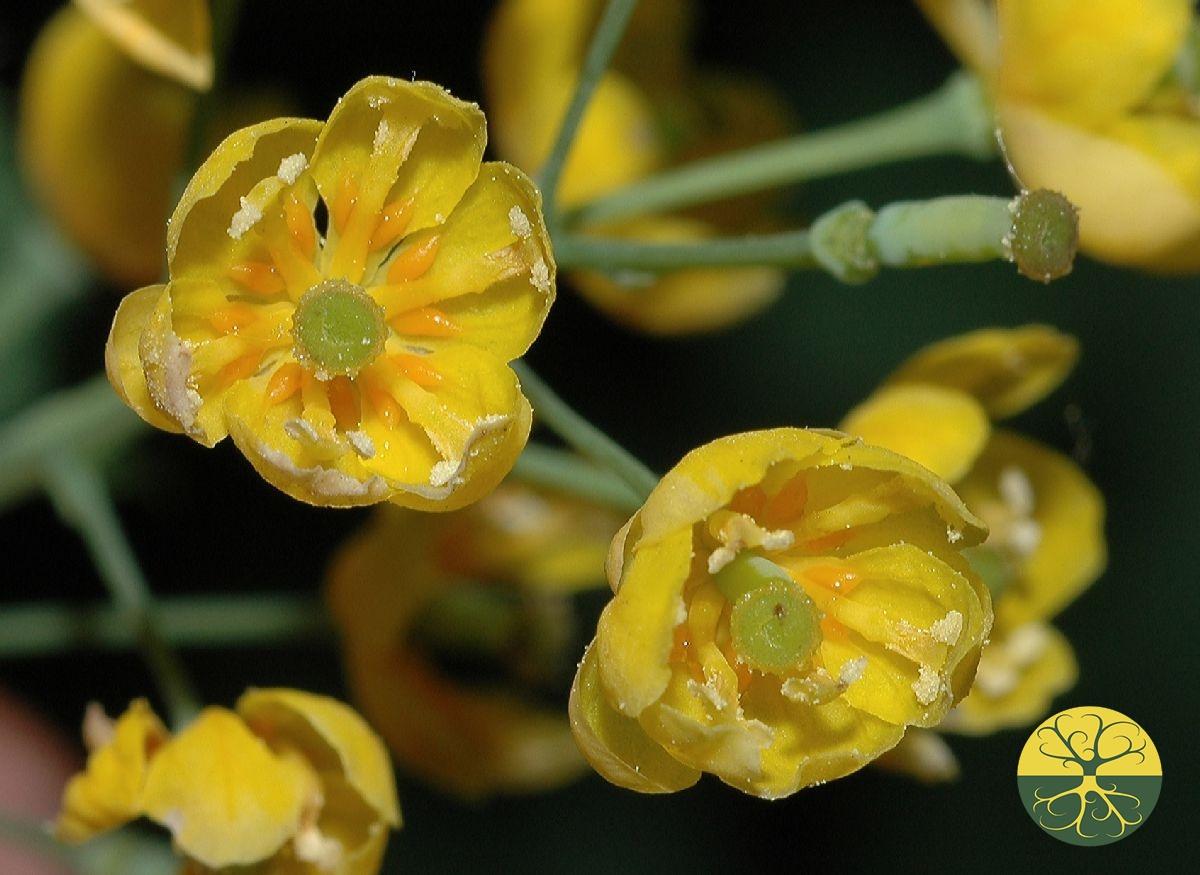 Фото цветков барбариса
