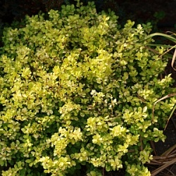 Барбарис Тунберга Тини Голд (Berberis thunbergii Tiny Gold)