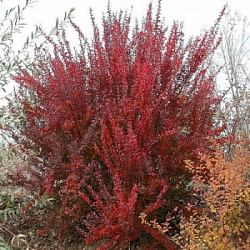Барбарис Тунберга Ред Рокет (Berberis thunbergii Red Rocket)