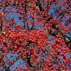 Яблоня 'Red Splendor' ( Malus 'Red Splendor')