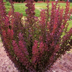 Барбарис Тунберга Ред Пиллар (Berberis thunbergii Red Pillar)